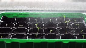 Watering many young plants in plastic pots. Close-up image on little tomato plants sprayed with water. New life concep. Watering many young plants in plastic stock footage