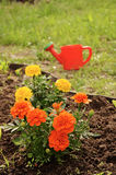 Marigold and watering pot. Marigolds on the flower bed, countryside Stock Image