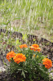 Marigold. S on the flower bed, countryside, wet Stock Photo