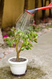 Watering money plant in the garden on sunny summer day Stock Images