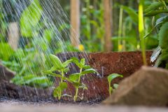 Watering New Growth. New plant growth being watered Royalty Free Stock Image
