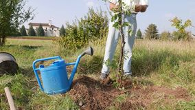 Watering a new tree stock footage