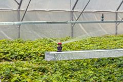 Watering oak seedlings in a greenhouse, by artificial spraying, before planting in the forest royalty free stock photo