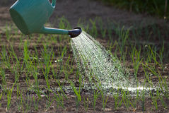 Watering onion garden Royalty Free Stock Images
