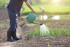 Watering onion garden Stock Images