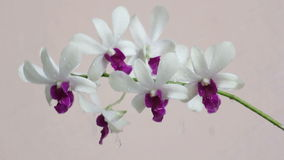 Watering orchid flower stock video footage