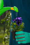 Watering pansy flower Royalty Free Stock Images