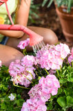 Watering pink flowers Stock Photography