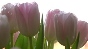 Watering pink tulips stock footage