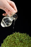 Watering plant (cress) on black background Royalty Free Stock Images