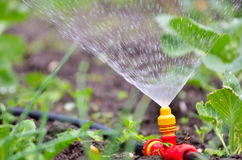 Watering plant in garden with sunlight. Watering the plants from a watering can. Watering agriculture and gardening concept Royalty Free Stock Photography