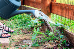 Watering plants Stock Photo