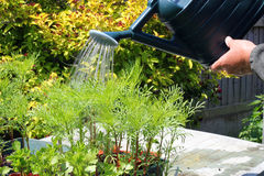 Watering plants closeup. royalty free stock images