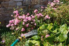 Watering plants with a garden hose Stock Photo