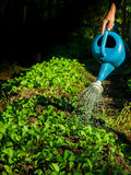 Watering plants with watering can.  Stock Image