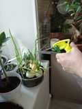 Watering plants on the windowsill in the kitchen stock photography