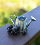 Watering pot with black currant berries Stock Photo