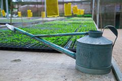 Watering pot or can for plant seedlings pallets with agricultural plant nursery greenhouse, plantation, farm, garden background. C. Ommercial, wholesale, retail stock photo