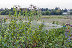 Watering raspberry bushes Stock Photo