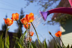 Watering red tulips from a watering can. Royalty Free Stock Photography