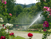 Watering the rose garden. Stock Photo