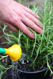 Watering rosemary herb Stock Photography