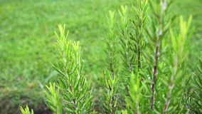 Watering rosemary herb in garden. Green rosemary herb growing in the garden, sprinkling with water stock video footage