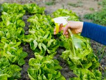 Watering the Salad Bed Royalty Free Stock Photo