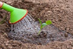 Watering the seedling of marrow in the garden Stock Image