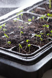 Watering seedling plants growing in germination plastic tray Royalty Free Stock Image