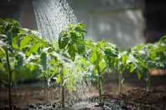 Watering seedling tomato Royalty Free Stock Image