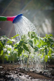 Watering seedling tomato. In greenhouse Royalty Free Stock Images
