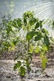 Watering seedling tomato. For watering-can Stock Image