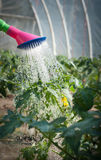 Watering seedling tomato. For watering-can Royalty Free Stock Images