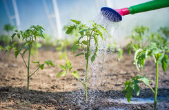 Watering seedling tomato Royalty Free Stock Images
