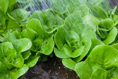 Watering small lettuce plants Stock Images