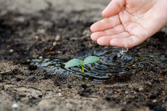 Watering the soil of sapling in garden. Royalty Free Stock Image
