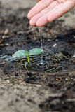 Watering the soil of sapling in garden. Stock Photography