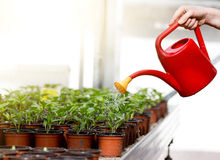 Watering sprouts in flower pots Royalty Free Stock Photo