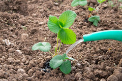 Watering strawberry sprout from watering can Stock Photo
