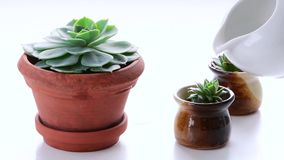 Watering succulents on white background stock video