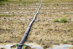 Watering system on the field of watermelons and melons. Shoots of melons and watermelons. Sown melon field. Royalty Free Stock Photos