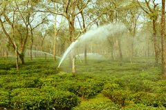 Watering Tea Garden Royalty Free Stock Image