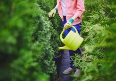 Watering thuja Stock Images