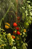 Watering tomato plant B Stock Photography