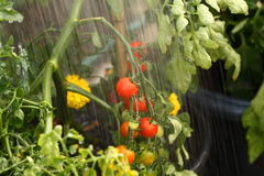 Watering tomato plant A Stock Photo