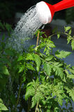 Watering the tomato plants