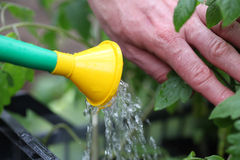 Watering tomato seedlings Royalty Free Stock Photos