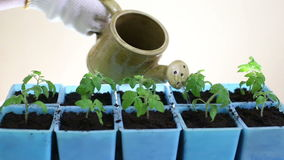 Watering tomato seedlings after transplanting into individual pots stock footage