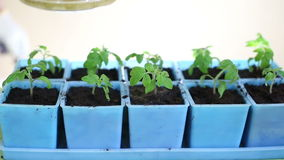 Watering tomato seedlings after transplanting into individual pots stock video